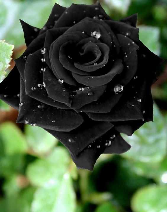 اجمل وردة طبيعية , صور أجمل ورد طبيعي في العالم